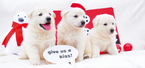 cute little white dog puppies christmas background