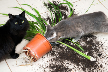 Black cat dropped and broke flower pot with green plant on the k