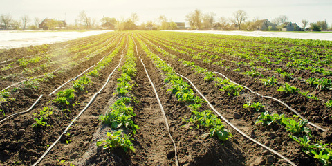 Young potatoes growing in the field are connected to drip irrigation. Agriculture landscape. Rural plantations. Farmland Farming. Selective focus Wall mural