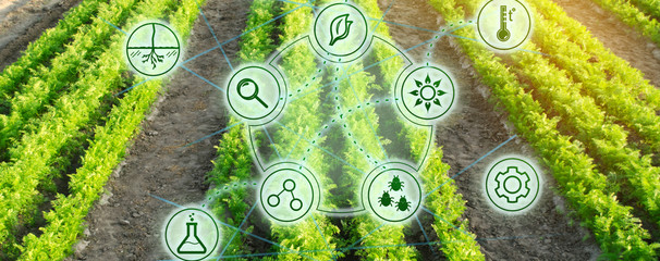 Growing organic vegetables with new technologies. Development of innovation and research. Investing in farming. Study quality of soil and crop. Selection of varieties. Agriculture. Carrot Fotomurales