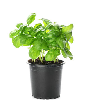 Fresh basil in pot on white background