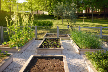 Community kitchen garden. Raised garden beds with plants in vegetable community garden.