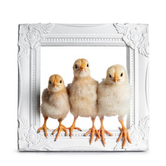 Group of 3 baby chicks sitting facing front in white photo frame. Isolated on white background. All looking at camera.