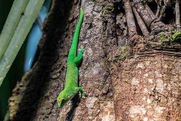 Fotorollo Chamaleon Green Geko from Masoala Madagaskar hanging tree