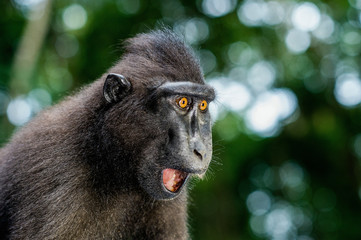 The Celebes crested macaque with open mouth. Crested black macaque, Sulawesi crested macaque, or...