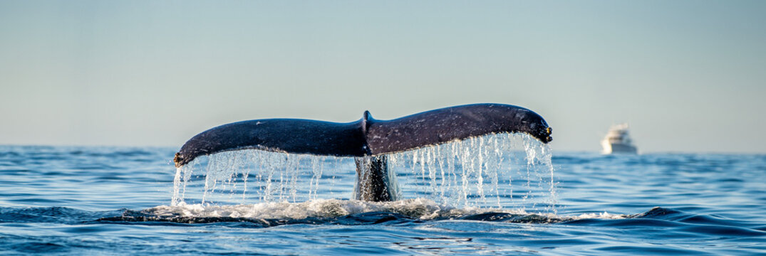 Tail fin of the mighty humpback whale above  surface of the ocean. Scientific name: Megaptera novaeangliae. Natural habitat. Pacific ocean, near the Gulf of California also known as the Sea of Cortez.