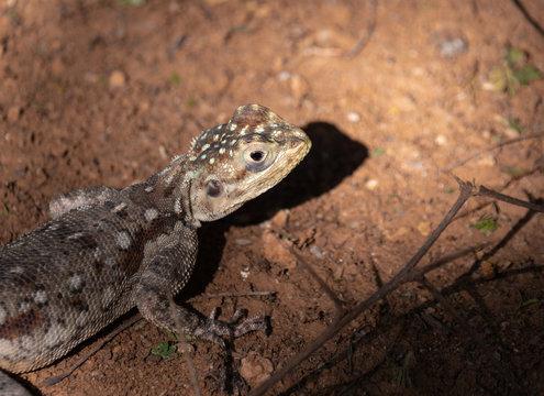 Agama Lizard in Easterb Afica