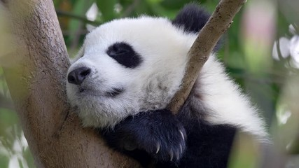 Wall Mural - Adorable baby panda sleeping on a tree. The animal is breathing rhythmically. UHD