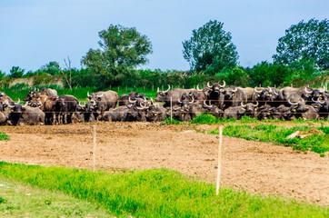 Herd of Hungarian Water Buffalo in the Hortobagyi national park.