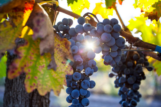 Grape plantation in the state of Mendoza, Argentina