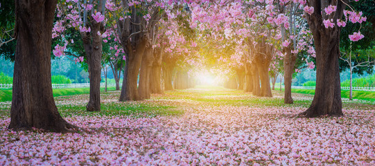 Pink trumpet tree with pink flower blooming tunnel with sunlight ray on the morning.