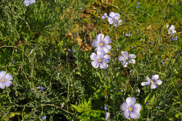 close-up of pale blue flowers of flax in a garden