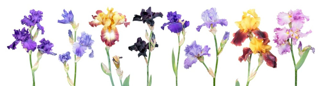 Big set of different color iris flowers with green leaves isolated on white background. General view of flowering plants. Cultivars from Tall Bearded (TB) iris garden group