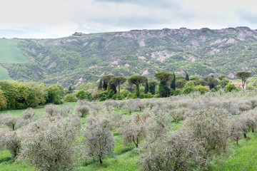 Olive cultivation in a valley