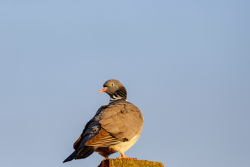 Dove on a roof against the blue sky