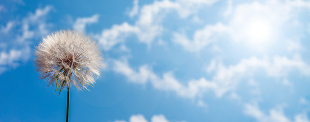 big white dandelion against the blue sky, panoramic image