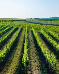 green vineyards landscape