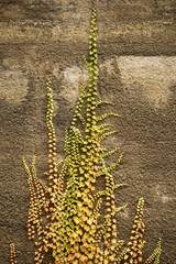 Kletterefeu auf verputzter Wand Herbstfarben