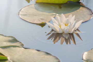 Wall Murals Water lilies White Water lily on water surface. Water lily reflection in water.