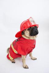 Cute pug dog wearing a fireman costume