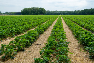 Strawberry fields, strawberry plants in rows growing on  farm on open air