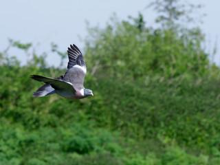 Fotoväggar - Wood pigeon, Columba palumbus