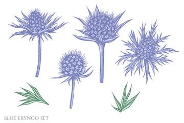 Vector set of hand drawn pastel blue eryngo