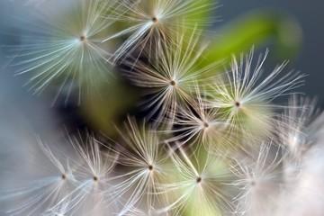 Dandelion.  Dandelion seeds close up. Soft focus ..