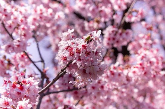 Belle floraison de fleurs roses de cerisier japonais