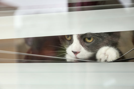 Cute fluffy cat looking through window blinds, space for text