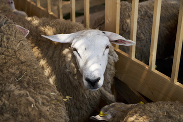 Sheeps in a farm wooden shed, close-up. Agriculture industry