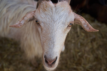 Goat in a farm wooden shed, close-up. Agriculture industry