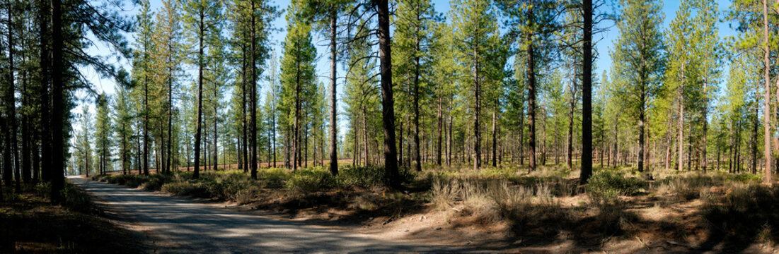 A dirt road leading through a densely grown section of the Deschutes Forest in Oregon.
