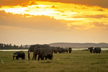 Wall Mural - Herd of Elephants Grazing at Sunset in Amboseli