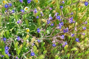 fleurs bleues des champs