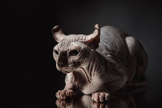 Portrait of a Sphinx cat on a dark background with dramatic light
