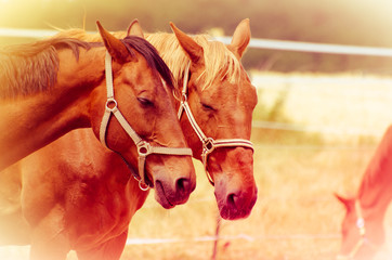 Pferde schlafen auf der Koppel, Deutsches Reitpferd und Lettisches Warmblut