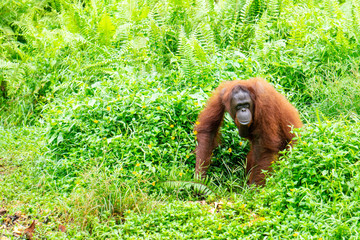 Female orangutan Annie at the Borneo Orangutan Survival Foundation sanctuary in Samboja, Kalimantan, Indonesia. Annie likes her vegetables. Fotomurales