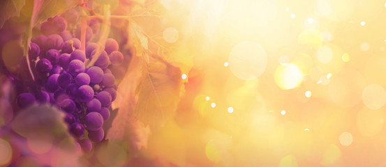 Fototapete - Blue grapes on the vine, wine variety in the vineyard, autumn natural background, banner, copy space, selective focus