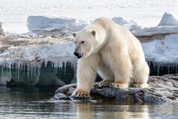 Deurstickers Ijsbeer Adult male polar bear at the ice edge in Svalbard
