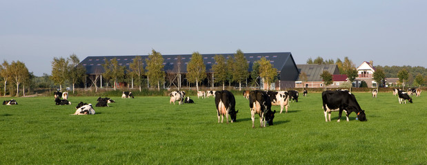 Cows in meadow Netherlands. Wall mural