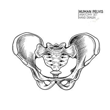 Hand drawn anatomy set. Vector human body parts, bones. Pelvic bones. Vintage medicinal illustration. Use for Haloween poster, medical atlas, science realistic image.