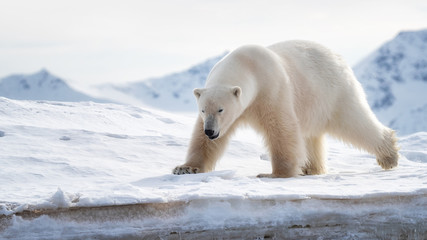 Photo sur Aluminium Ours Blanc Adult male polar bear stands at the ice edge in Svalbard