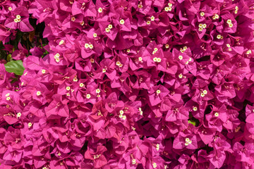 Bougainvillea flowers close up.Blooming bougainvillea as a background.