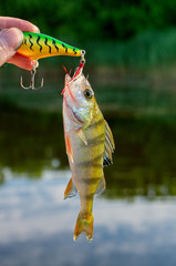 caught perch in the river at the bait, summer
