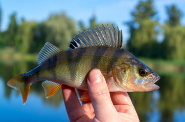 perch caught in a river in summer, closeup in the hand of a fisherman