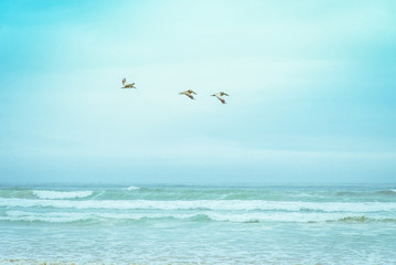 Brown California pelicans (Pelecanus Occidentalis Californicus) flying above Pismo beach and Pacific Ocean surfing sea waves. Tiffany blue green to pastel teal colors of sea nature landscape