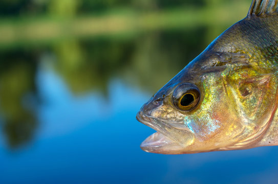 close-up perch fish head caught in a river