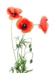 Obraz Beautiful red poppy flowers on white background - fototapety do salonu