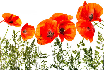 green grass and red poppies - isolated on a white background